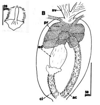 Cicerina bicirrata