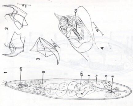 Uncinorhynchus karlingi