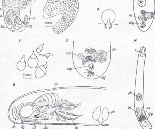Neoplacorhynchus bakuensis