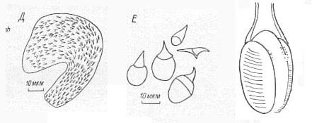 Oneppus denticulatus