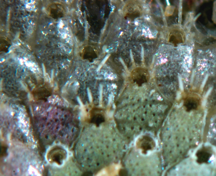 Phaeostachys spinifera (Johnston, 1847)