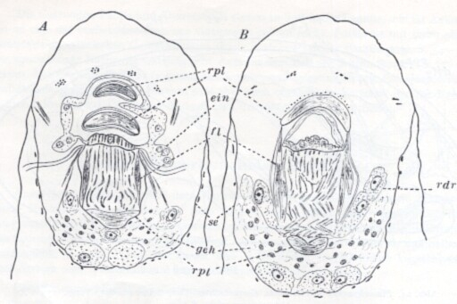 Placorhynchus meridionalis