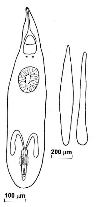 Cohenella pronini
