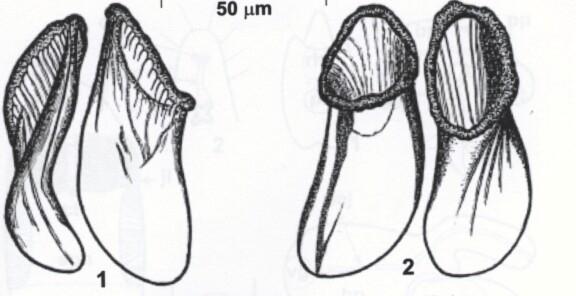 Coulterella bondarenkoi