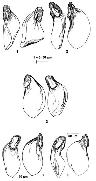 Coulterella hirotaorum