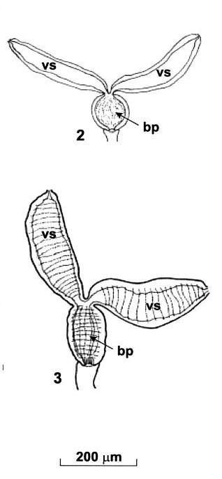 Kawanabella afanasyevae