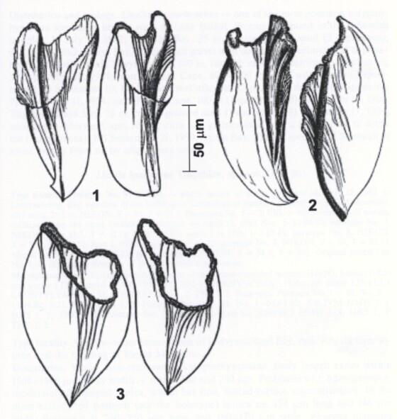 Linella macrorhynchus