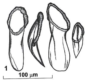 Rhynchokarlingia pomazkovae