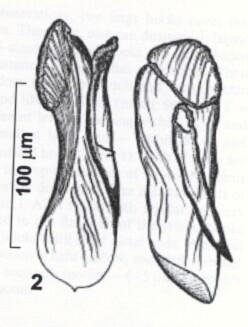 Rhynchokarlingia zemskayae