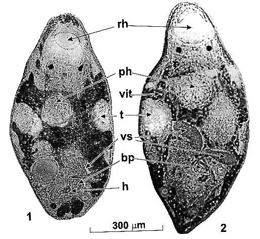 Reuterella baeckmanae