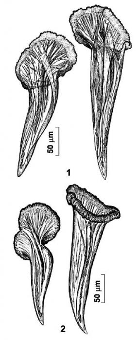 Reuterella grygieri