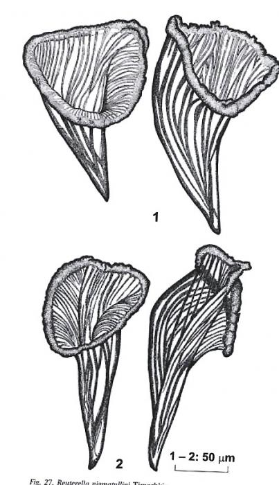 Reuterella nigmatullini