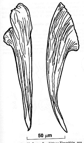 Reuterella nikitinae