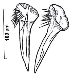 Reuterella saetosouncinata