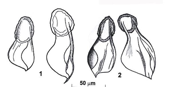 Riedelella efremovae
