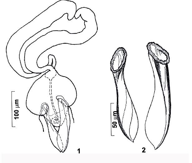 Riedelella krstanovskii
