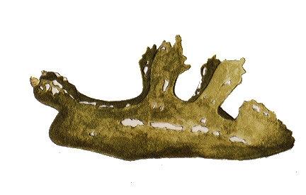 Scyllaea pelagica Linnaeus, 1758