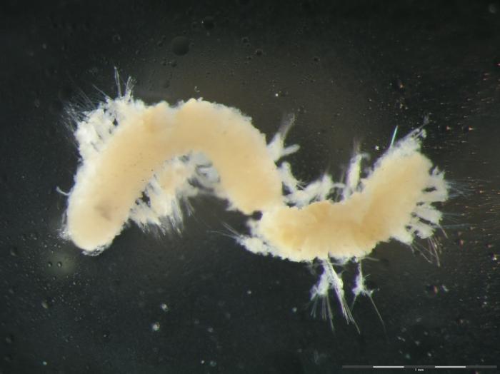 Dorvilleidae