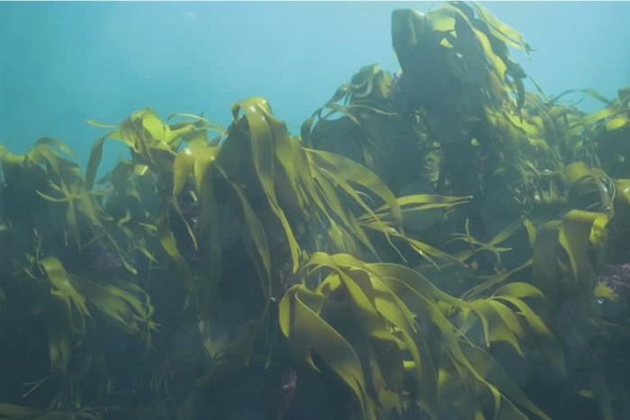 Kelp forest (Laminaria hyperborea)