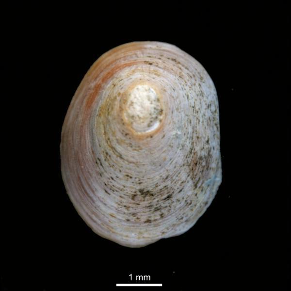 Erginus rubellus