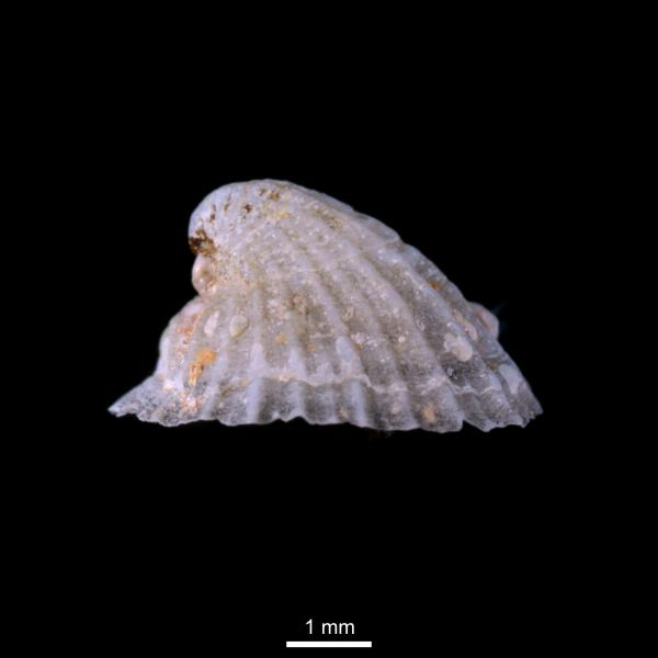 Puncturella noachina