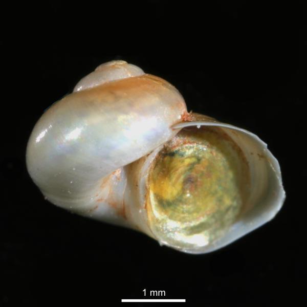 Margarites helicinus