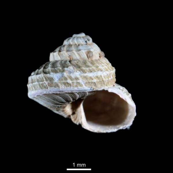 Margarites costalis