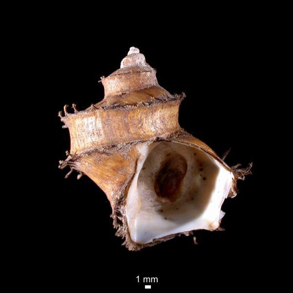 Trichotropis bicarinatus