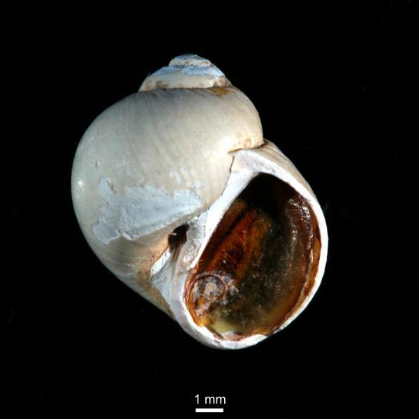 Euspira pallida