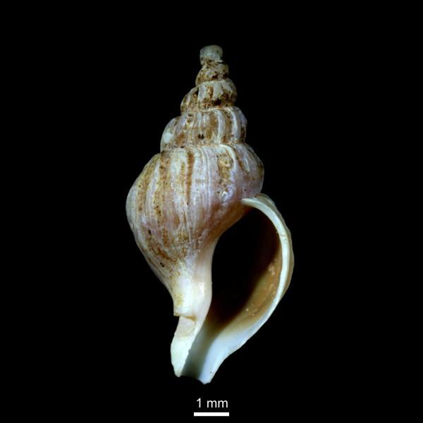 Boreotrophon truncatus