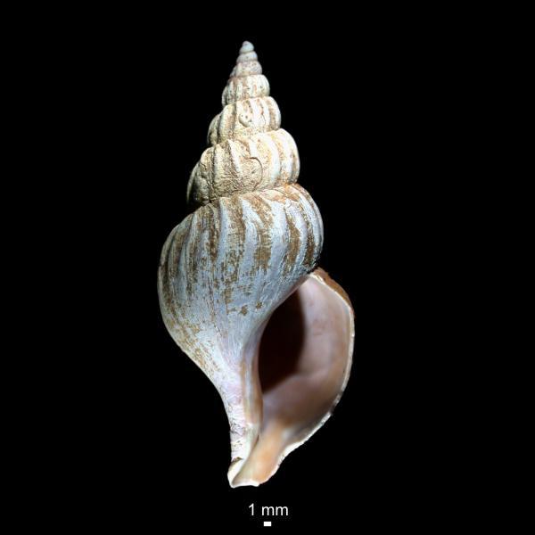 Colus kroeyeri