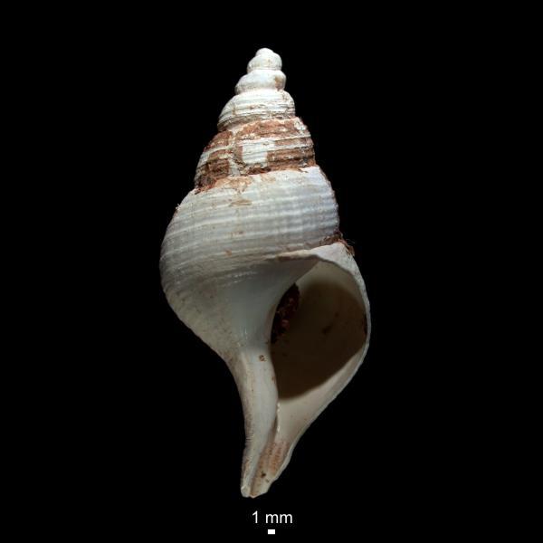 Colus sabini