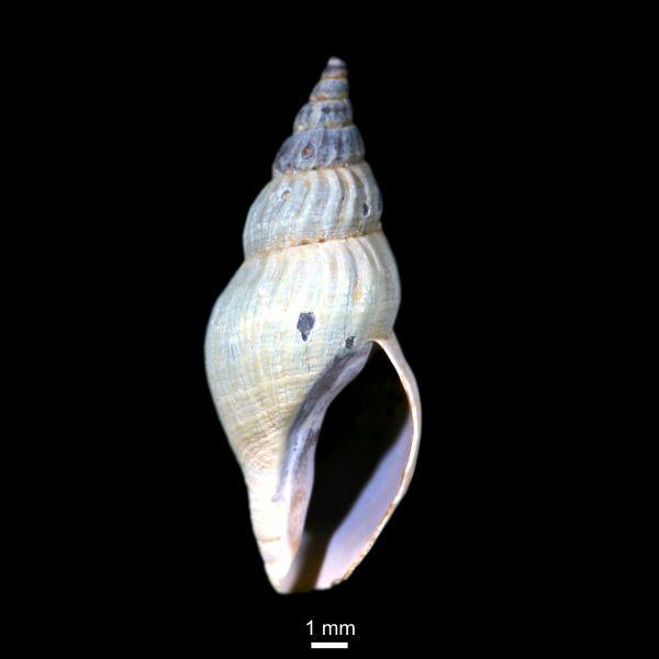 Oenopota pyramidalis