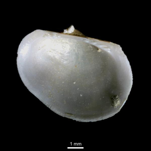 Bathyarca pectunculoides