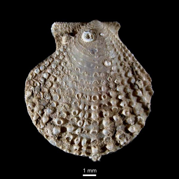 Cyclopecten imbrifer