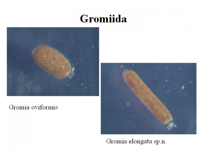 Gromia oviformis and Gromia elongata