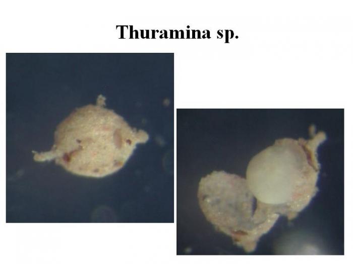 Thurammina