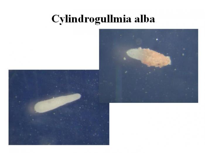 Cylindrogullmia alba