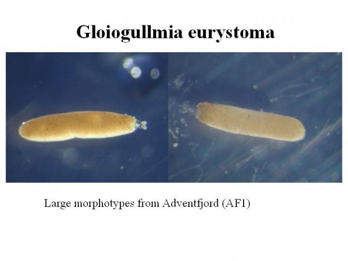 Gloiogullmia eurystoma