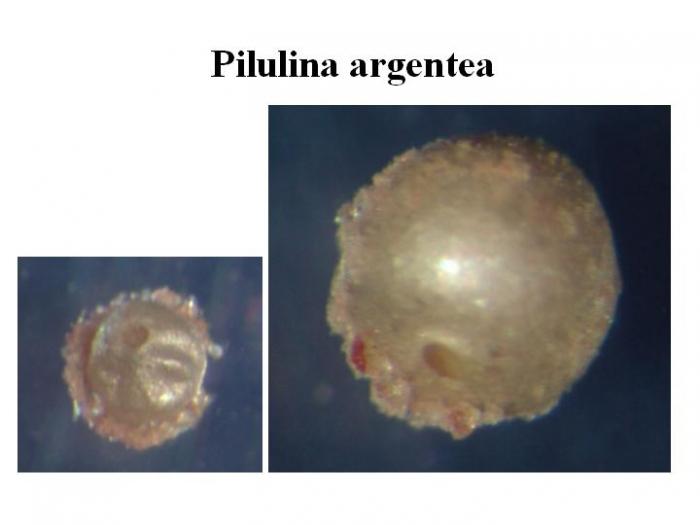 Pilulina argentea