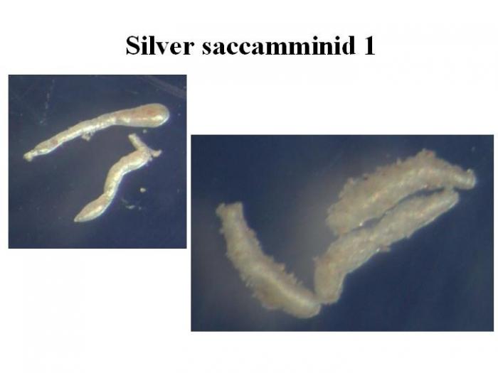 Silver saccamminid