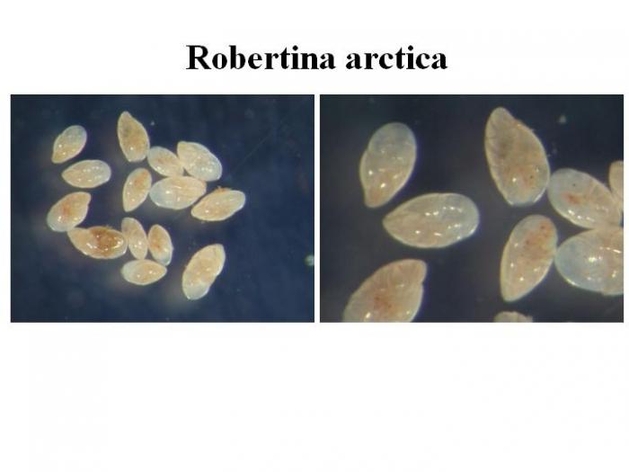Robertina arctica