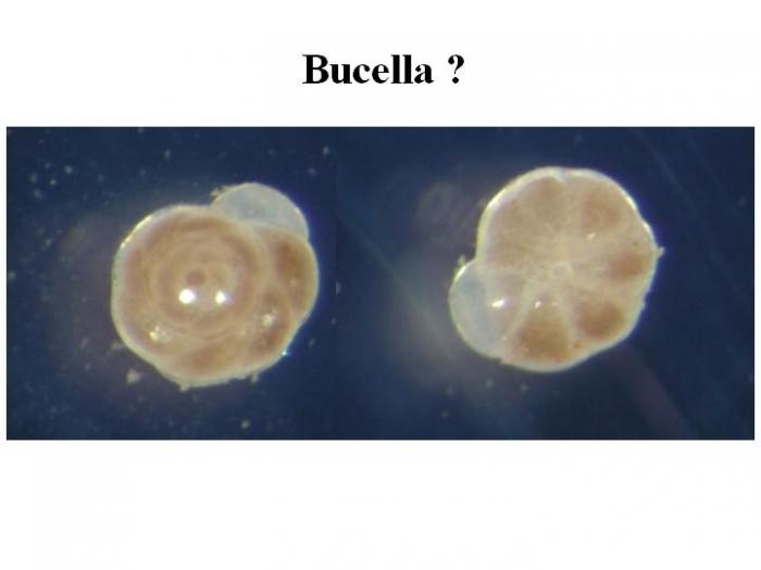 Bucella
