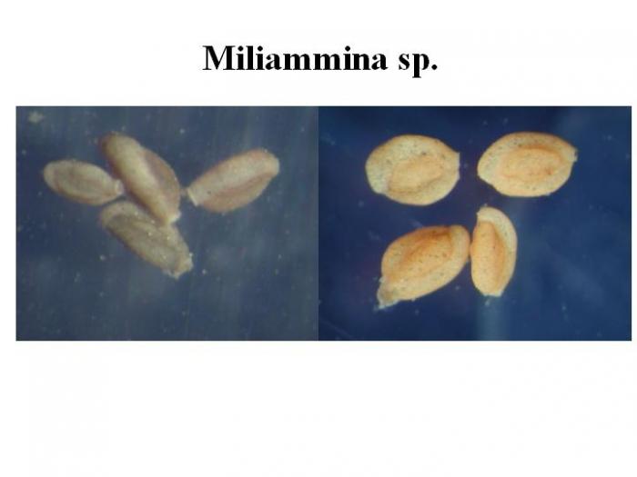Miliammina