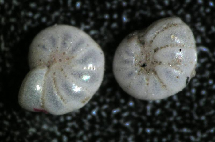 Elphidium bartletti