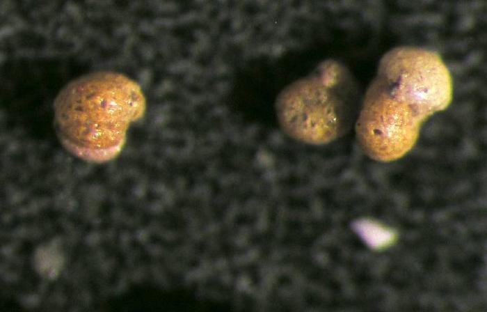 Adercotryma glomerata