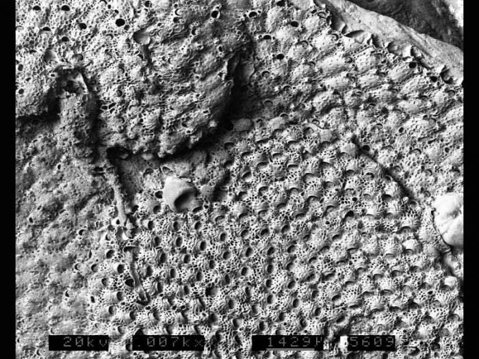 Myriozoella plana