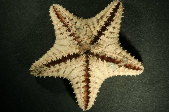 Ctenodiscus crispatus