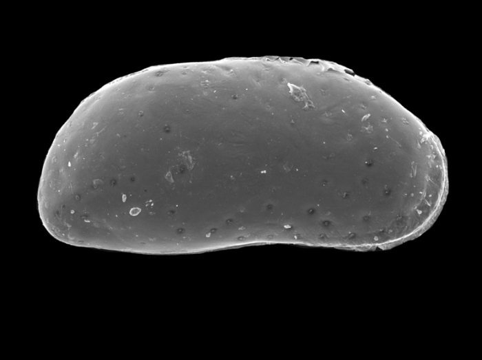 Ostracoda