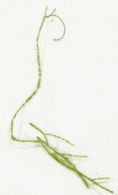 Acrosiphonia sonderi